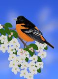 Male Northern Oriole (Icterus galbula) Royalty Free Stock Images