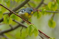 Northern Parula - Setophaga americana. Male Northern Parula perched on a branch. Ashbridges Bay Park, Toronto, Ontario, Canada Royalty Free Stock Photos