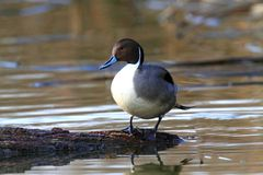 Male Northern Pintail Stock Image