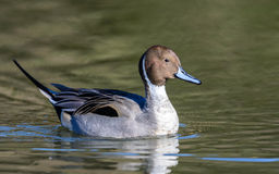 Male Northern Pintail duck (Anas acuta) Stock Image