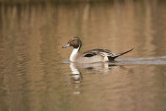 Northern Pintail duck Stock Images