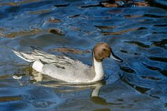 Male Northern Pintail Royalty Free Stock Photos