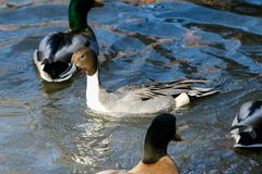 Male Northern Pintail Stock Photography