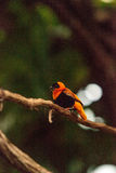 Male Northern red bishop Euplectes franciscanus royalty free stock photos