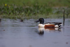 Male northern shoveler Stock Image
