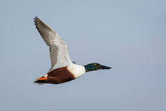 Male Northern Shoveler (Anas clypeata) in flight Royalty Free Stock Images