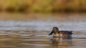 Male Northern Shoveler On Calm Waters Royalty Free Stock Photo