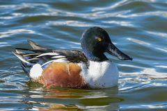 Northern Shoveler Drake In A Calm Lake. Male Northern Shoveler Duck Swimming in a Lake Stock Photography
