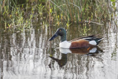 Male Northern Shoveler Royalty Free Stock Photos