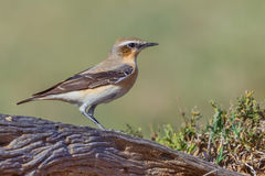 Male Northern Wheatear On Fallen Log Stock Photography
