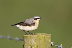 Male Northern Wheatear Royalty Free Stock Images