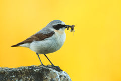 Male Northern wheatear Royalty Free Stock Photo