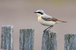 Male Northern Wheatear sits on the old wooden garden fence with clean background stock photography