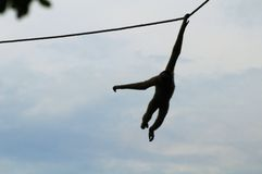 Gibbon monkey rope blue sky Stock Photos