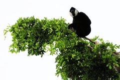 Gibbon monkey on tree top Stock Photo