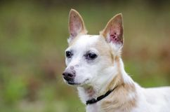 Jack Russell Terrier Dog. Male not neutered white and tan Jack Russell Terrier dog outdoors in meadow on leash. Some hair loss from skin condition; flea allergy Stock Images