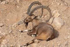 Male Nubian Ibex relaxing in the desert sand capra nubiana. Male Nubian Ibex relaxing in the desert sand with impressive horns capra nubiana royalty free stock images