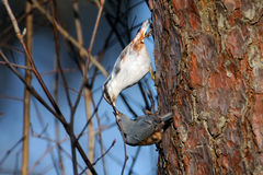 Male Nuthatch feeds female in spring Stock Photos