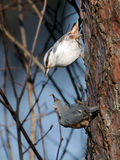 Male Nuthatch feeds female in spring Stock Image