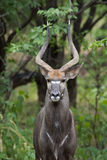 Male Nyala Royalty Free Stock Image