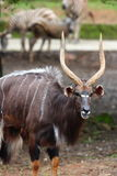Male Nyala stock photo