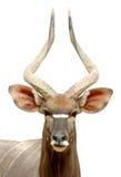 Male Nyala Stock Photo