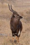 male nyala Royaltyfri Foto