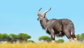 Male Nyala antelope. Male Nyala antelope Tragelaphus angasii. Wildlife animal Stock Photo