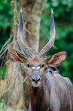 Male nyala antilope Royalty Free Stock Photos