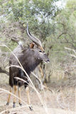 Male Nyala Royalty Free Stock Images