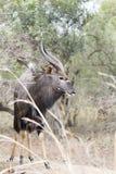 Male Nyala Royalty Free Stock Images
