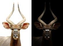 Male nyala on dark and white background Stock Photography
