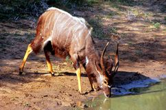 Male Nyala drinking at Mkhuze waterhole Stock Photo