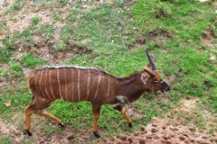 Male nyala Royalty Free Stock Photography