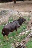 Male nyala Stock Images