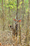 Male nyala Stock Image