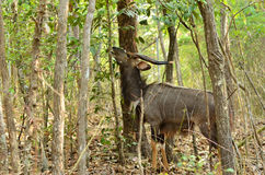 Male nyala Stock Photography