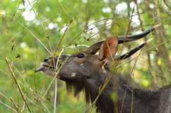 Male nyala Royalty Free Stock Photos