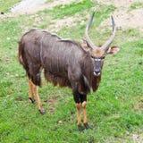 Male Nyala Royalty Free Stock Image