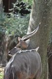 Male nyala near tree2 Stock Photo