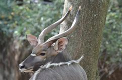 Male nyala near tree3. A male nyala looks over his shoulder to his left Royalty Free Stock Photo