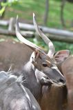 Male nyala near tree5 Royalty Free Stock Photo