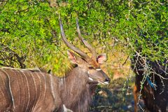 Male Nyala standing by a tree Royalty Free Stock Image