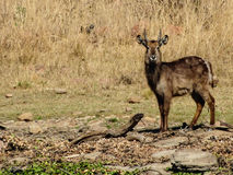A male Nyala Stock Images