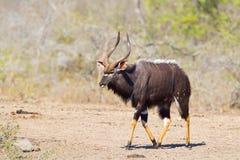 Male Nyala walking Stock Photo