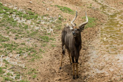 Male nyalas standing. In the park Stock Photo