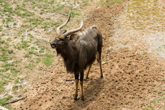 Male nyalas standing. In the park Royalty Free Stock Photography