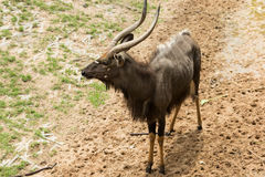 Male nyalas standing. In the park Stock Photos