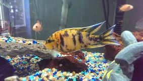 Male OB Peacock Cichlid Royalty Free Stock Image