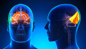 Male Occipital Lobe Brain Anatomy - blue concept Stock Photos